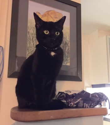 Black female cat missing from Quill Lane area in West Putney
